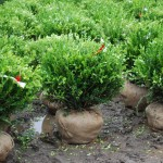 Buxus sinica var. insularis (Winter Gem) Korean Boxwood 18 x 24 inch