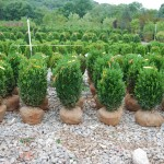 BUXUS SEMPERVIRENS 24-inch Common Boxwood