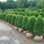 Buxus semperivirens 3-ft (Green Mountain) Boxwood
