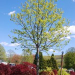 Acer saccharum (Legacy) Sugar Maple early spring