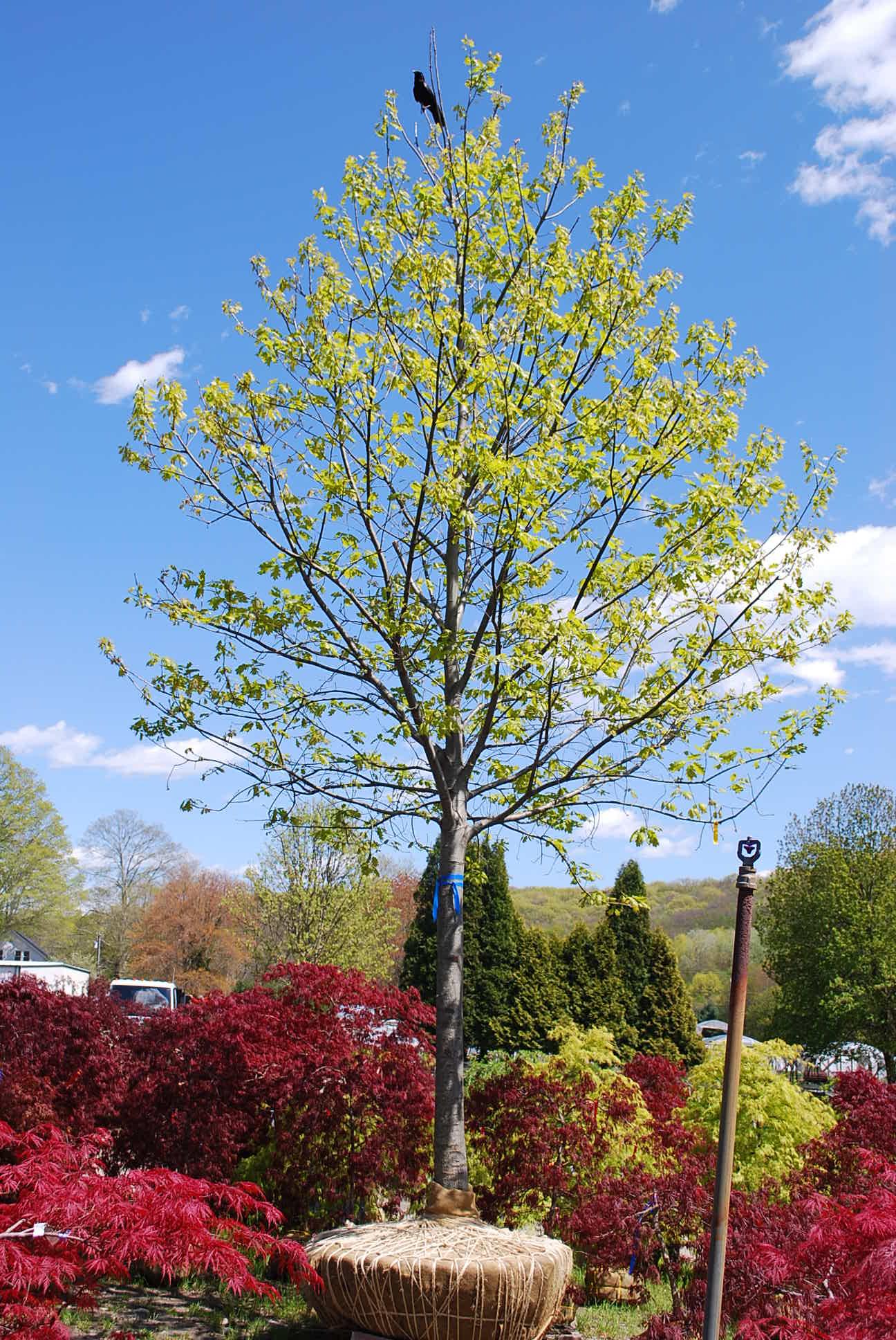 Shade Trees Planters Choice