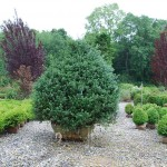 Buxus sempervirens 6ft x 6ft (Common Boxwood)