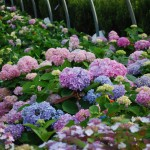 Hydrangea macrophylla (Bigleaf Hydrangea) A neutral Ph can yield pink and blue blossoms on the same plantt