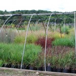 A rainbow of ornamental grasses in  August