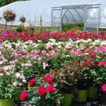 A selection of Knockout Roses
