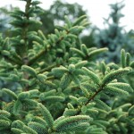ABIES PINSAPO Aurea Golden Spanish Fir