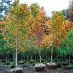 Acer saccharum (Sugar Maples in fall)