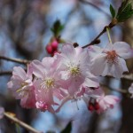 Prunus subhirtella (Autumnalis) Autumn Cherry