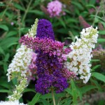Buddleia davidii Cultivars (Black Knight) (White Profusion) and (Pink Delight)