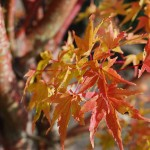 ACER PALMATUM  Sango Kaku fall color Coral Bark Maple