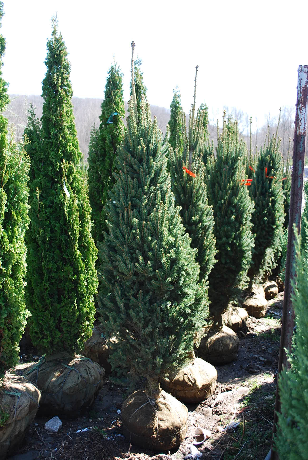 Specialty Conifers Planters Choice