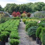 Buxus x (Donlon) Boxwood LEFT