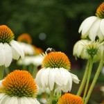 Echinacea (Lucky Star) Coneflower