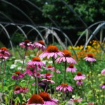 Echinacea (Ruby Star) Coneflower