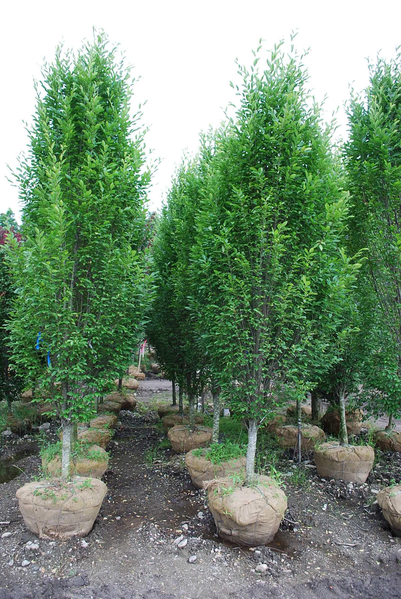 Trees Of Santa Cruz County Melaleuca Quinquenervia: Planters' Choice