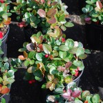 Gaultheria procumbens (Wintergreen)