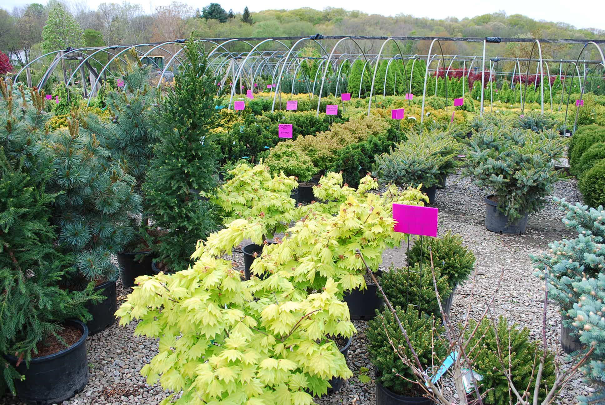ornamental trees planters 39 choice. Black Bedroom Furniture Sets. Home Design Ideas