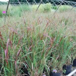 Panicum virgatum (Heavy Metal) Switchgrass