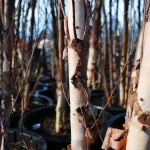 Betula nigra (River Birch) PC Grown 15 gal.