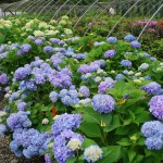 Hydrangea macrophylla (Endless Summer)