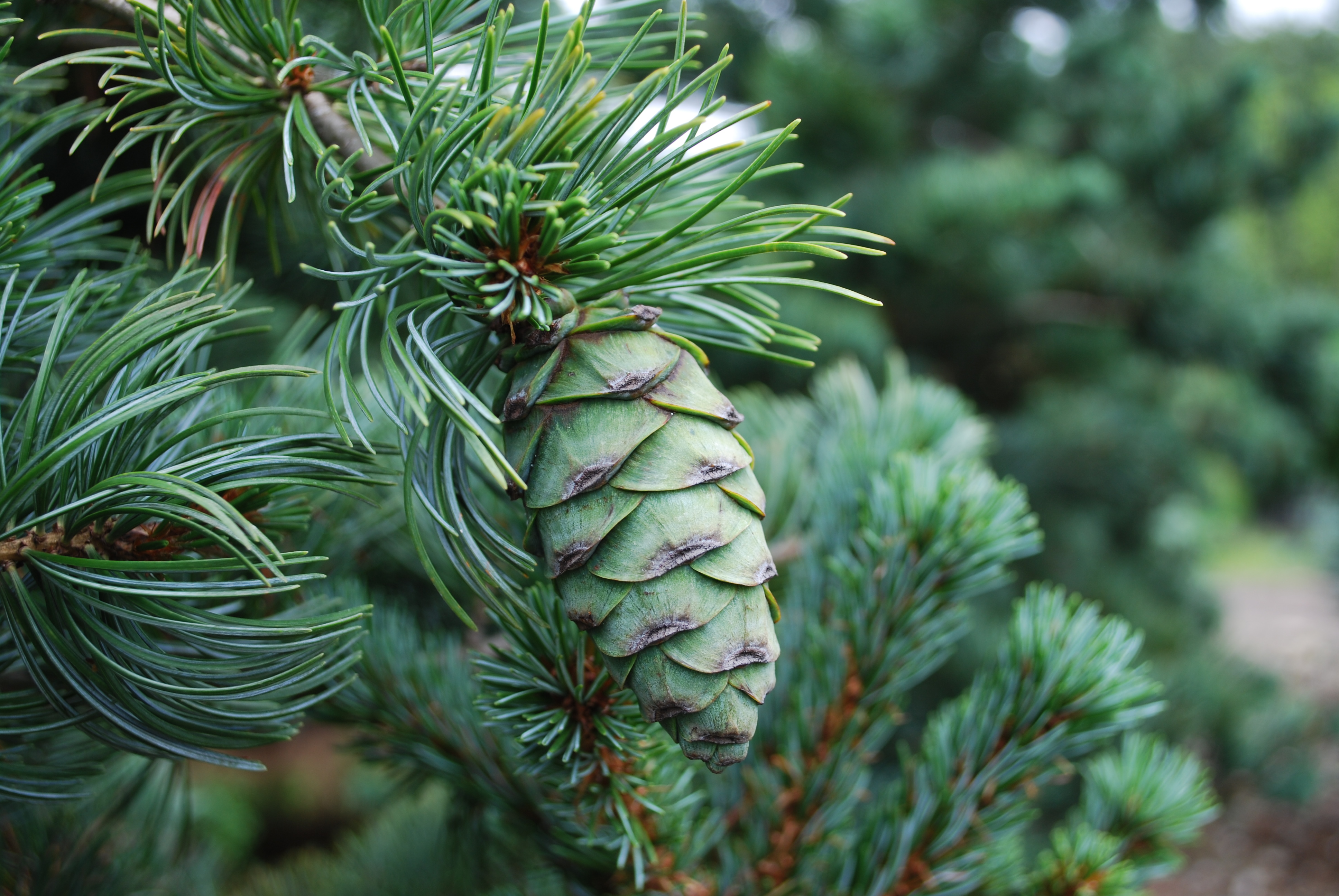 specialty conifers