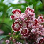 Kalmia latifolia (Kaleidoscope) Mountain Laurel