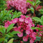 Kalmia latifolia (Pink Charm) Mountain Laurel