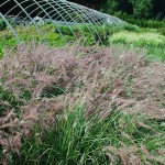 Pennisetum orientale (Karley Rose) Fountain Grass