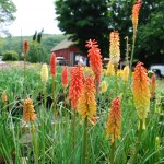 Kniphofia uvaria (Flamenco) Red Hot Poker