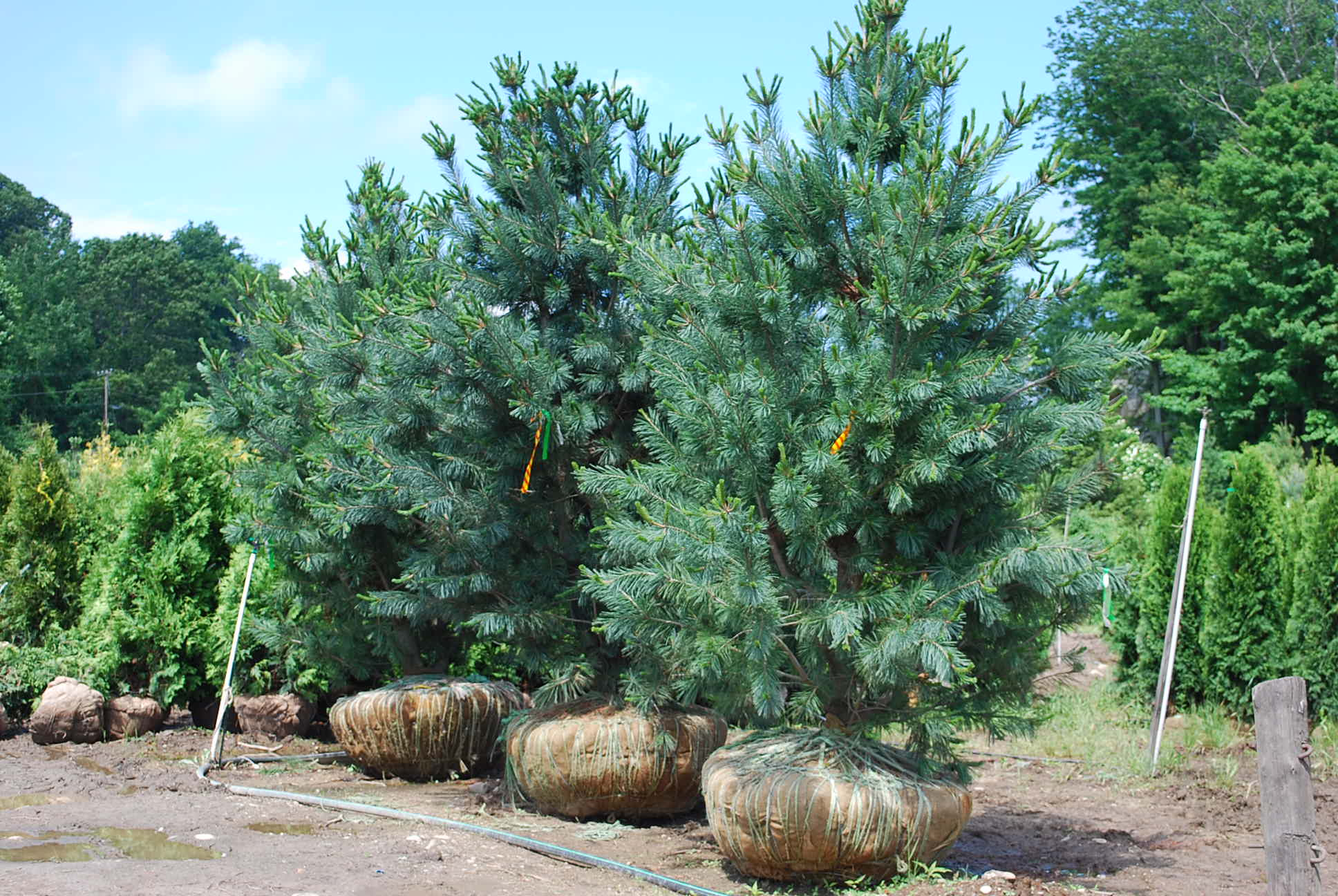 Screening Evergreens | Planters' Choice
