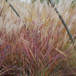 Miscanthus sinensis (Morning Light) Japanese Silver Grass