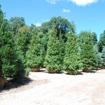 Thuja plicata (Green Giant) Western Arborvitae in center
