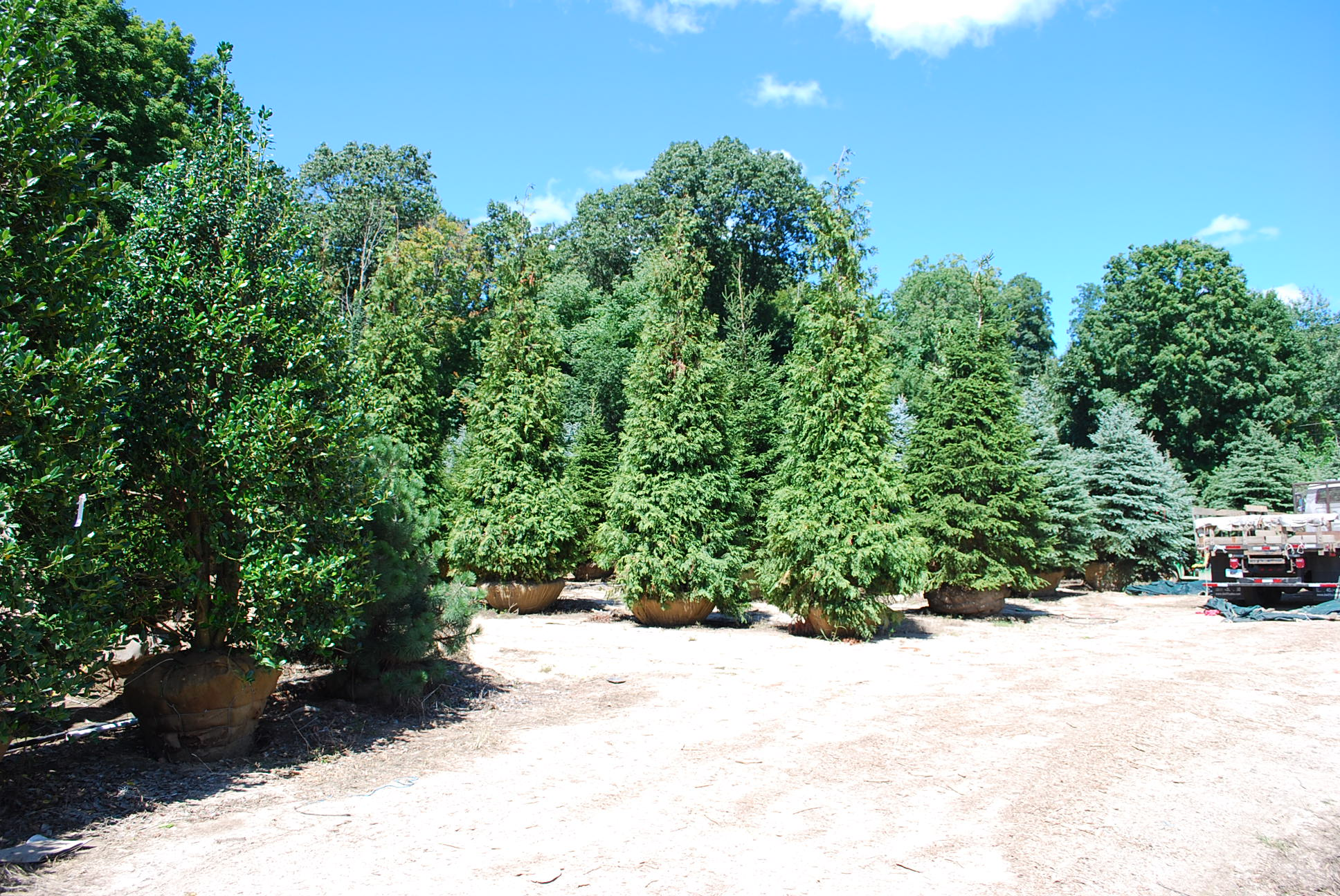 screening evergreens