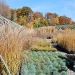 Ornamental grasses in October