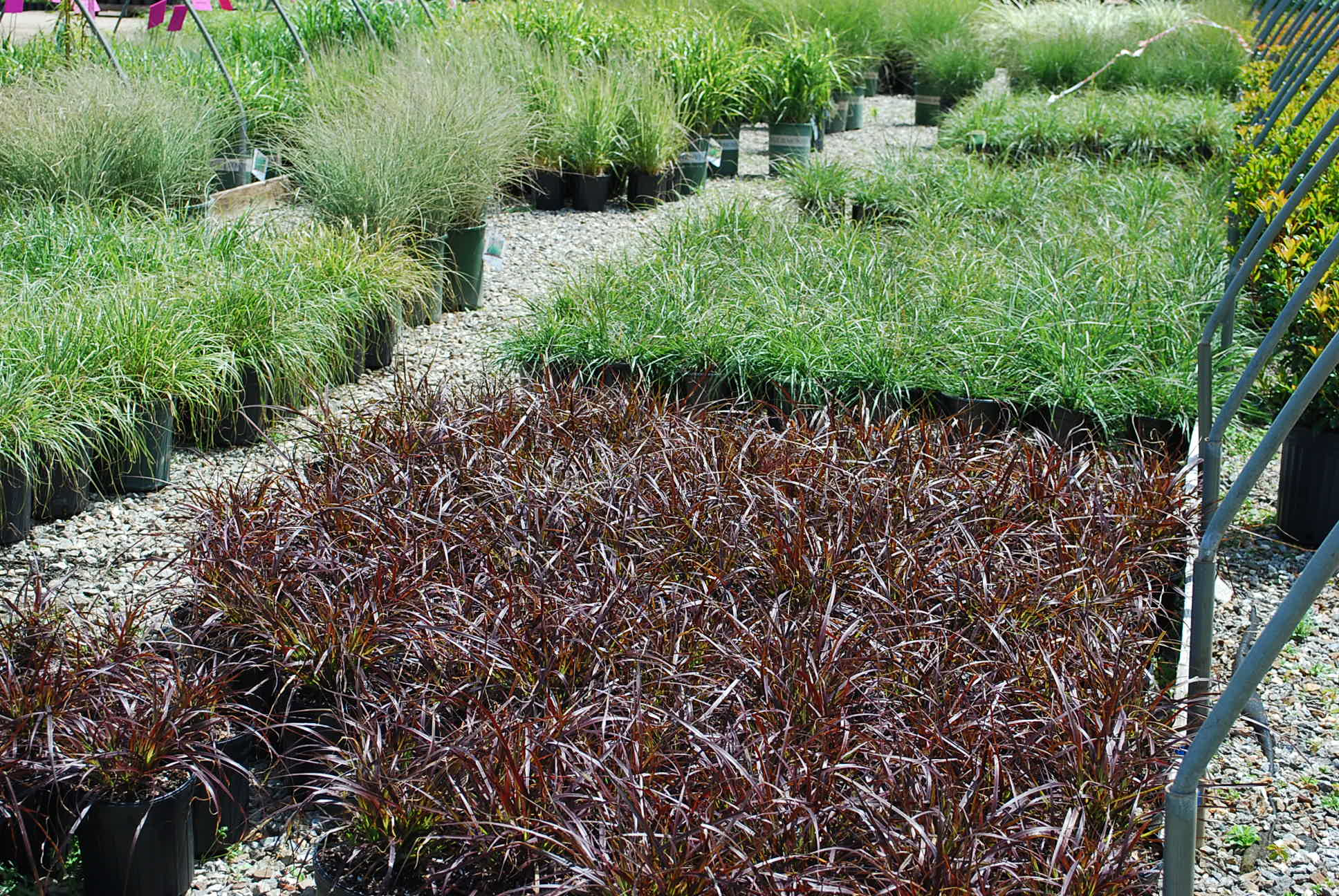 Grasses planters 39 choice for Fountain grass for shade