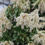 PIERIS JAPONICA Flaming Silver Japanese Andromeda in flower