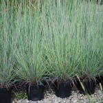 Schizachyrium scoparium (The Blues) Little Bluestem