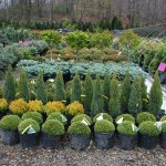 Container specialty evergreen selection