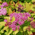 Spirea japonica (Magic Carpet) Spirea