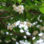 Styrax japonicus (Japanese Snowbell)