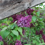 Syringa vulgaris Monge (Common Lilac)