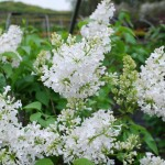 Syringa vulgaris (Alba) Common Lilac