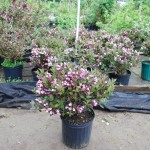 Weigela florida (Java Red) Weigela