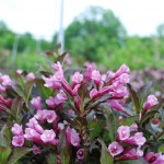 Weigela florida  (Wine and Roses)