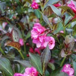 Weigela florida (Wine and Roses) Weigela