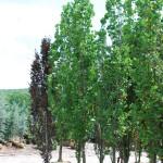Fagus sylvatica (Dawycki) Green Columnar European Beech