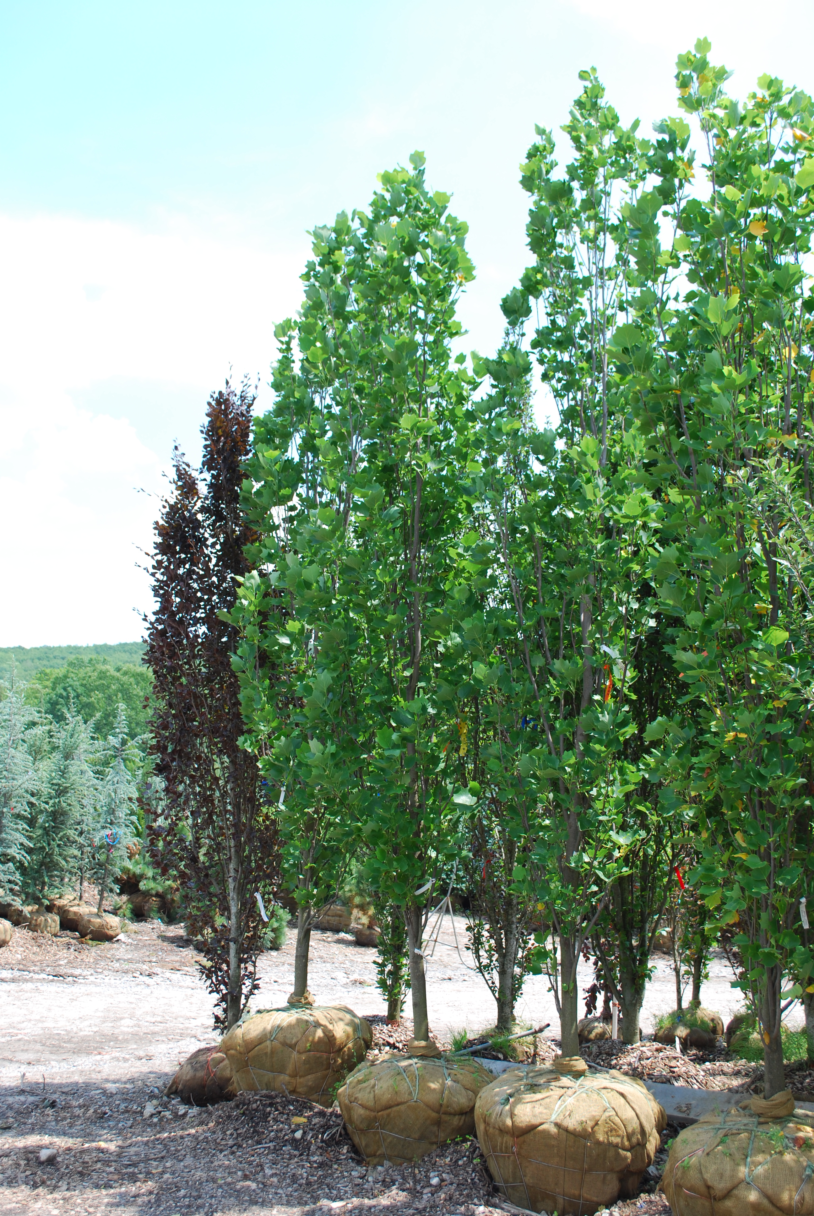 Columnar Spruce Trees Bing Images