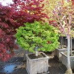 Acer palmatum (Sharps Pygmy) Dwarf Japanese Maple