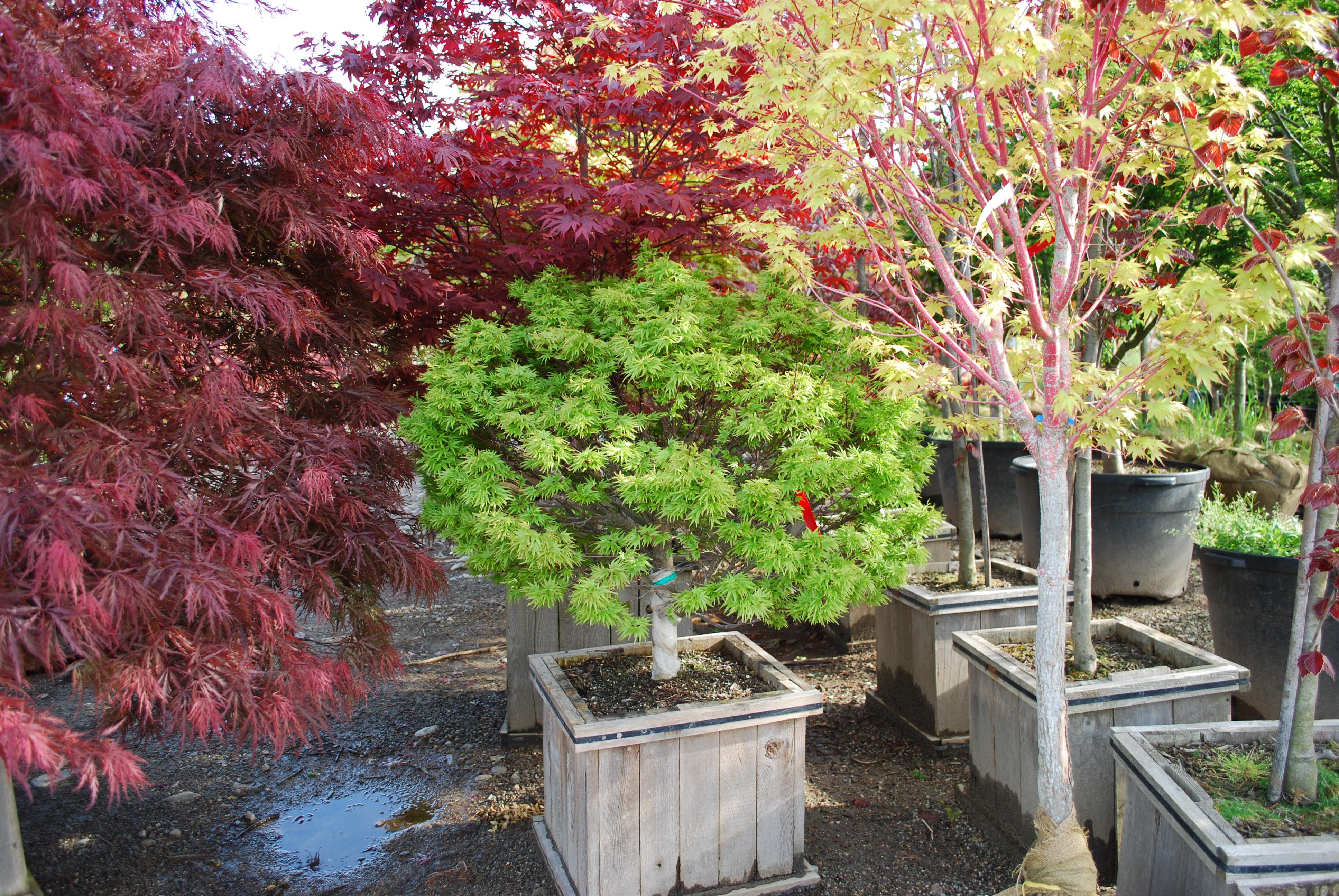 Ornamental Trees Planters 39 Choice