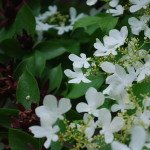 Viburnum plicatum tomentosum (Watanabe) Summer Snowflake Viburnum and Calycanthus floridus (Sweet Shrub) LEFT